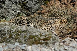 Leopardo caucasico 3