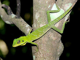 Green-crested-lizard 6487