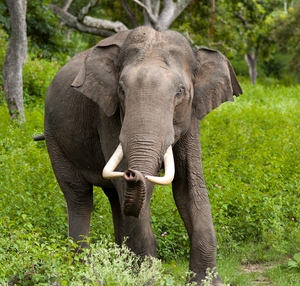 Elefante asiatico 2