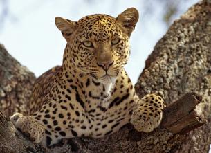 Leopardo wiki 2