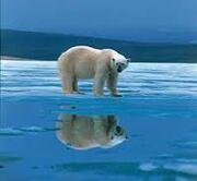 Oso polar en su habitad