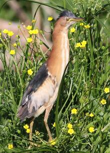 Little bittern, Ixobrychus minutus - - at Rietvlei Nature Reserve, Gauteng, South Africa (22094305940)