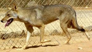 Lobo arabe