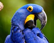 Guacamayo azul 1
