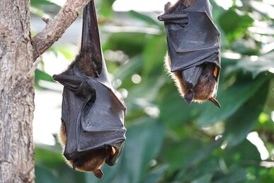 Flying-foxes-2237209 960 720