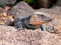 Gallotia stehlini -Gran Canaria, Canary Islands, Spain-8