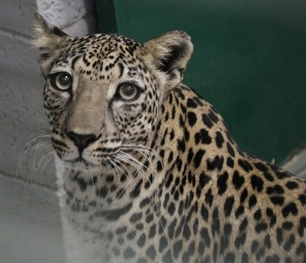 Leopardo arabe 6