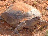 Tortuga del Desierto de Mojave