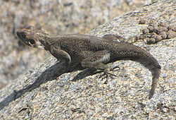 250px-Mwanza Flat-headed Rock Agama, female, Serengeti