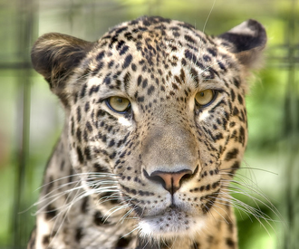 Leopardo caucasico 1