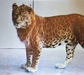 Leopon 1