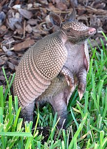 220px-Armadillo-Florida-crop-2009