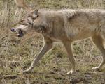Lobo de etrusco