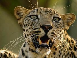 Leopardo arabe 4