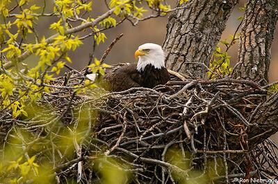 Aguila calva nido
