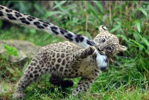Leopardo caucasico 5
