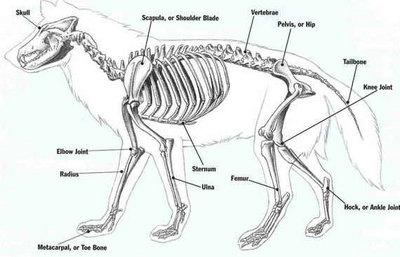 Esqueleto de lobo