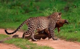 Leopardo indio 9