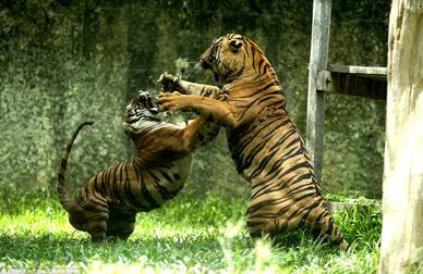 Tigres luchando