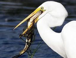 Garza comiendo pescado