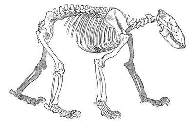 Esqueleto de oso pardo