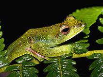 Malayan-flying-frog 3850
