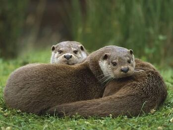 Ingo-arndt-minden-pictures-european-river-otter-lutra-lutra-sisters-resting-europe a-G-8632463-4990703