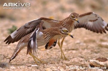 Stone-curlews-defending-nest-from-snake