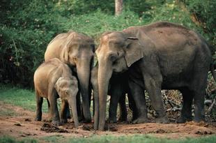 Elefante asiatico 9