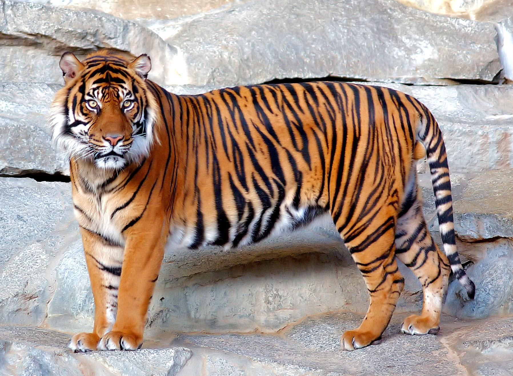 Tigre   Wiki Reino Animalia   FANDOM powered by Wikia