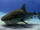 Tiburón Tigre