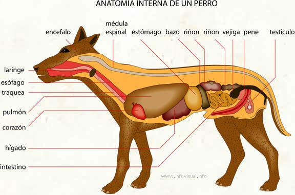 069 Anatomia interna de un perro