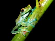 Jade-tree-frog 5784