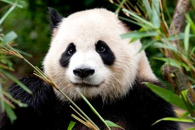 Oso panda 8