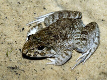 Crab-eating-frog 0114