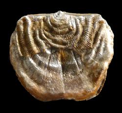 Branquiopodos