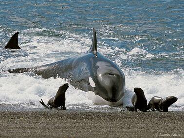 Orca cazando