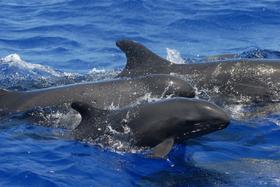 Orca falsa 8