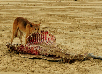 Dingo comiendo