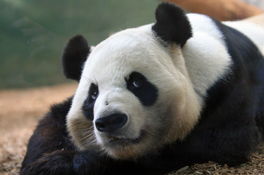 Oso panda 10