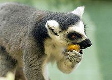 220px-Ring-Tailed Lemur eating