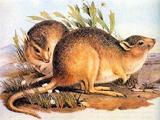 Canguro Rata del Desierto