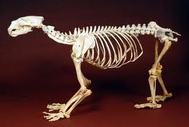 Esqueleto de un oso polar