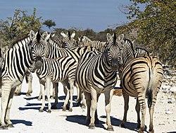 250px-Equus quagga burchellii (group)