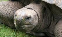 Aldabrachelys gigantea3