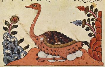Avestruz arabe 1