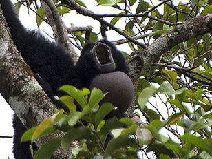 Siamang-throat-pouch-VDR