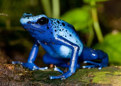 Rana Flecha Azul | Wiki Reino Animalia | FANDOM powered by Wikia
