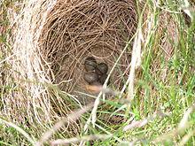 220px-Alauda arvensis nest