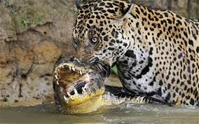 Jaguar cocodrilo
